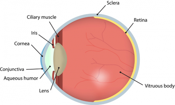 A diagram of the eye showing the conjunctiva, cornea, lens and more